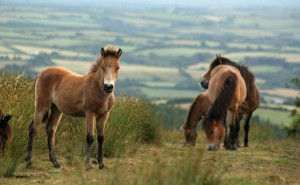 Exmoor ponies on Exmoor National Park