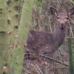 Exmoor Red Deer in Farm B&B woodland