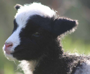 Jacob lamb at Hxtable Farm B&B, Devon