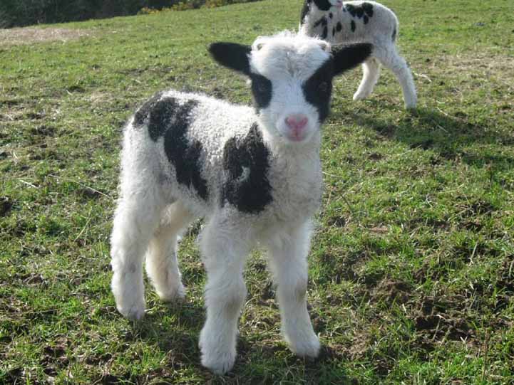 Jacob lamb at lambing rime in Spring