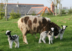 Jacob sheep ewe with triplets at Huxtable Farm B&B, North Devon