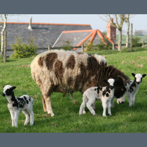 Jacob-ewe with triplets at Easter