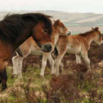 Exmoor pony-and-foals , Exmoor National Park