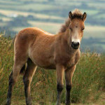 Exmoor pony foal on Exmoor National Park