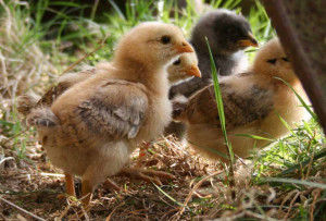 Chicks at Huxtable Farm B&B, North Devon