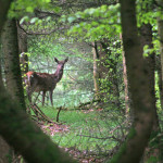 Exmoor Deer in the woods