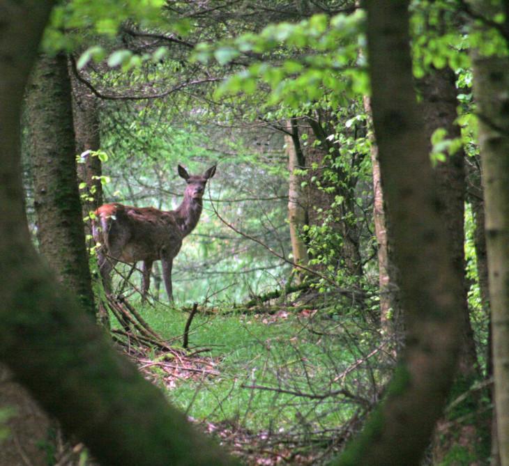 Exmoor Red Deer in the woods