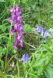 Wild Orchid in Devon hedgerow