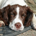 Bella, the Springer Spaniel