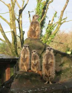 Exmoor Zoo Meerkats