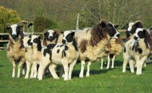 Jacob sheep at Huxtable Farm B&B