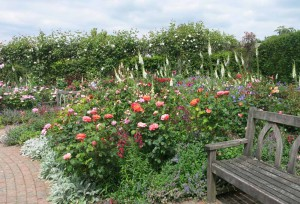RHS Rosemoor Rose Festival June - July