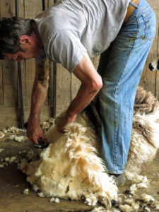 Shearing Huxtable Farm's Jacob sheep, Devon