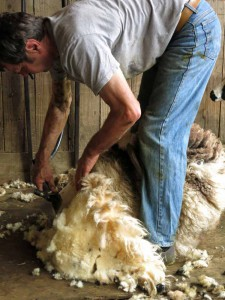 Shearing the Jacob sheep in June