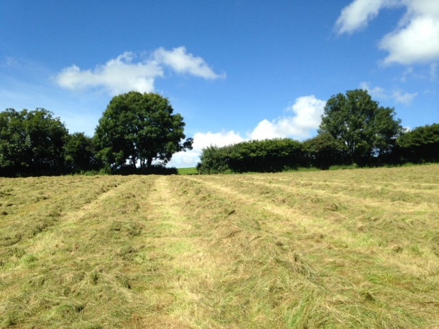 Grass rowed up ready for baling