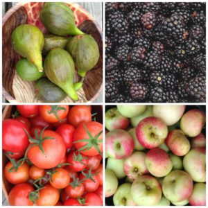 Harvesting Figs, Blackberries, Apples & Tomatoes