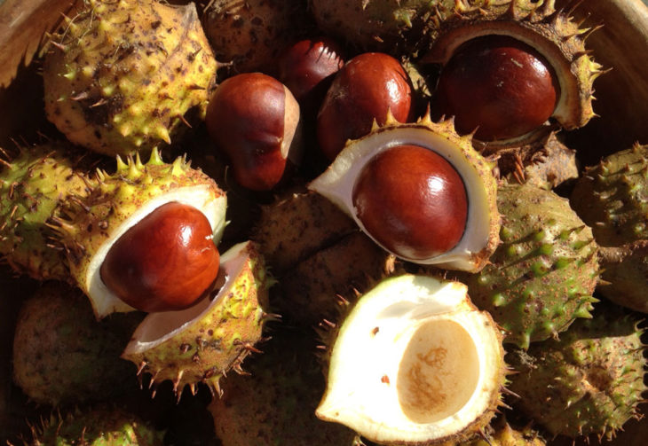 Autumn conkers, North Devon