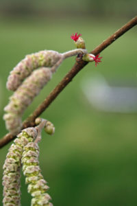 Hazel tee flowers and catkins