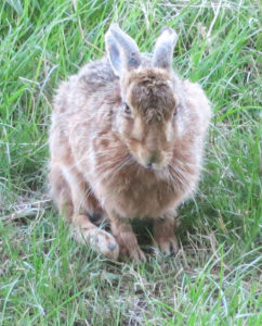 Hare in field at Huxtable Farm B&B, West Buckland, Barnstaple Devon,