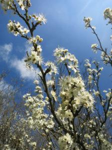 hawthorn-blossom