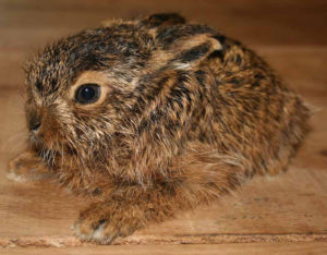 Leveret baby hare at Huxtable farm B&B, Barnstaple