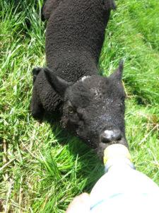 Baa-baa - Bottle fed tame lamb at Huxtable Farm B&B Devon