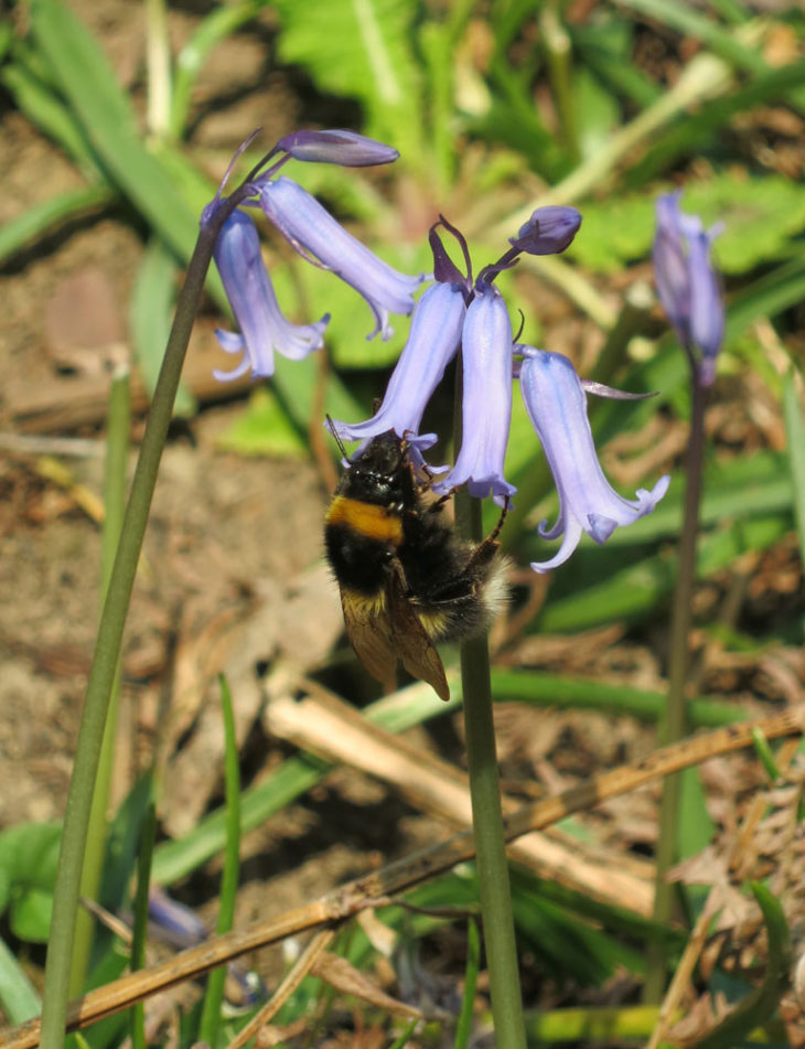 Bluebells and bee