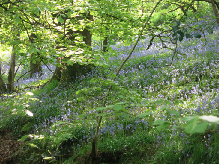 Bluebells under trees