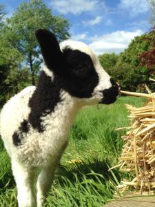 Bo - Bottle fed tame lamb