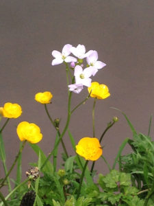 cuckooflower and buttercups