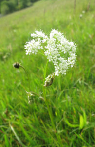 wild-flower