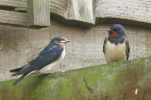 Swallows at Huxtable Farm B&B