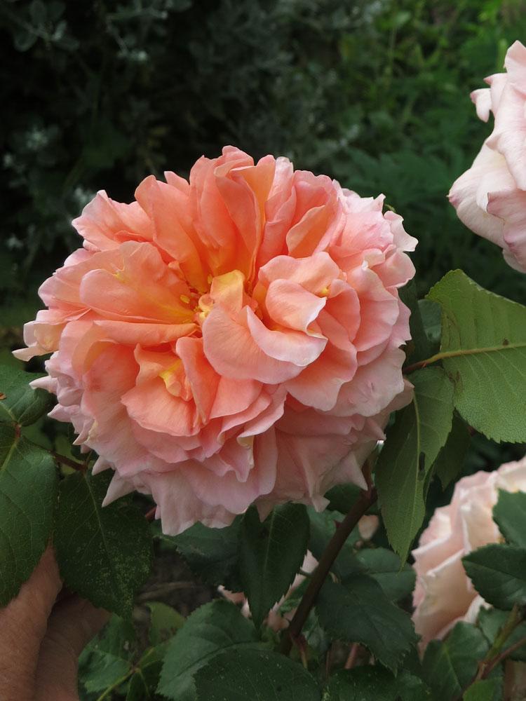 june-rose-10
