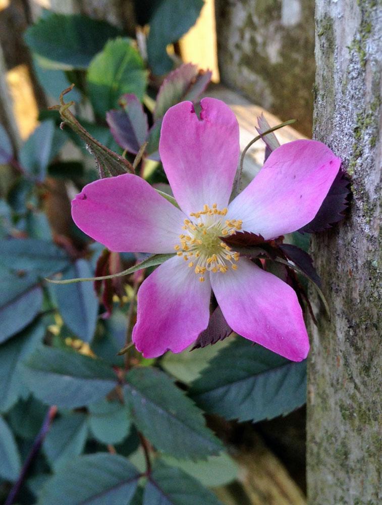 june-rose-11