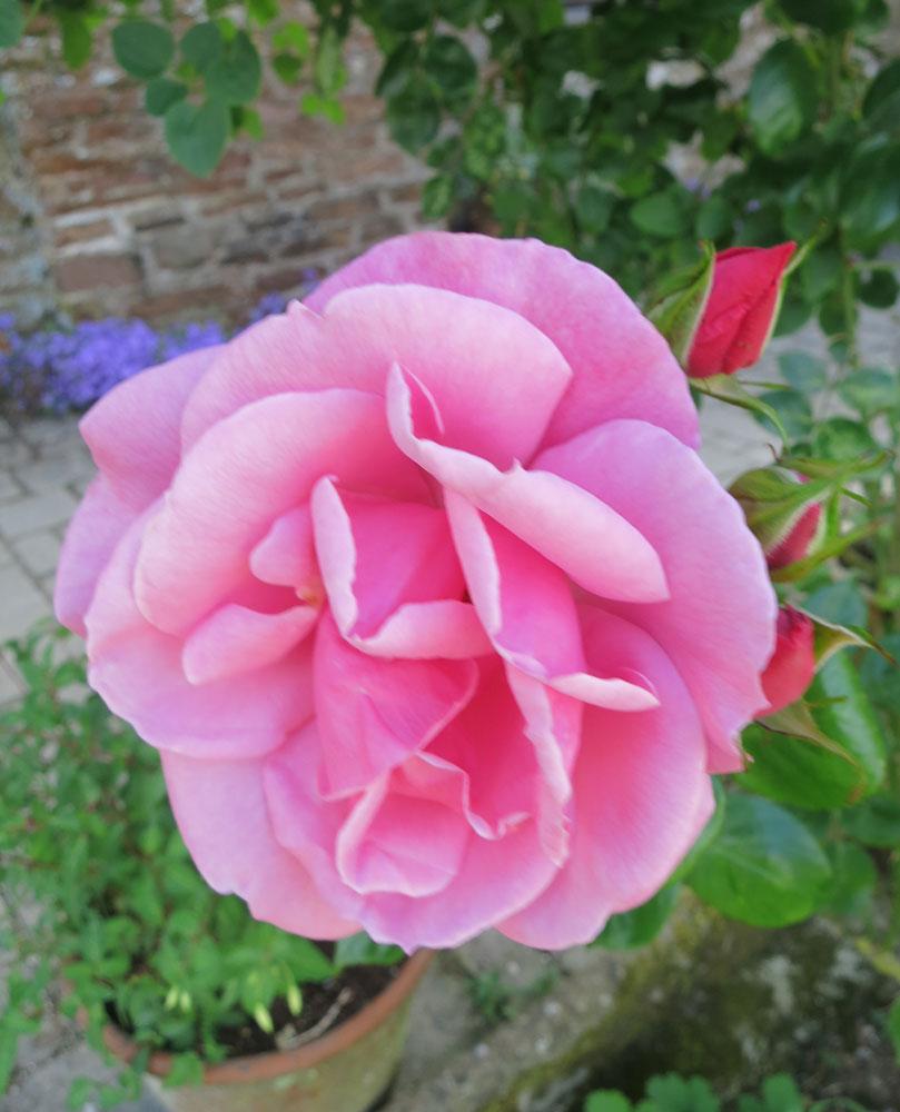 june-rose-16