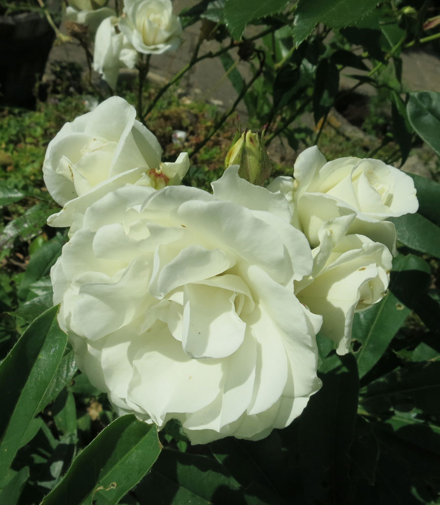june-rose-17