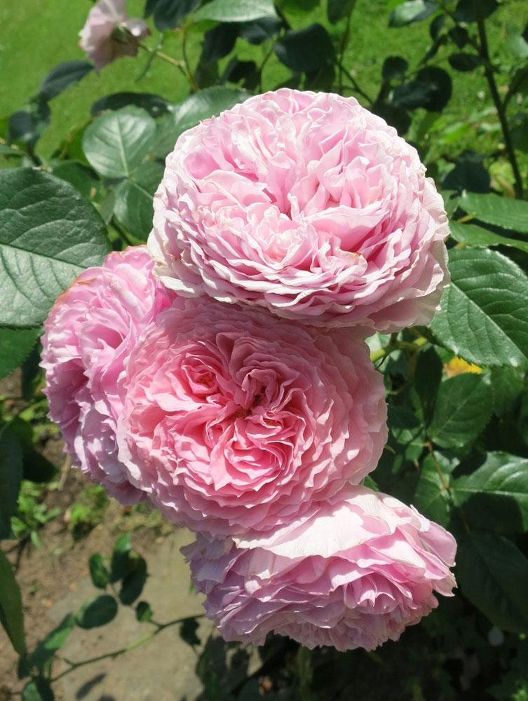 june-rose-18