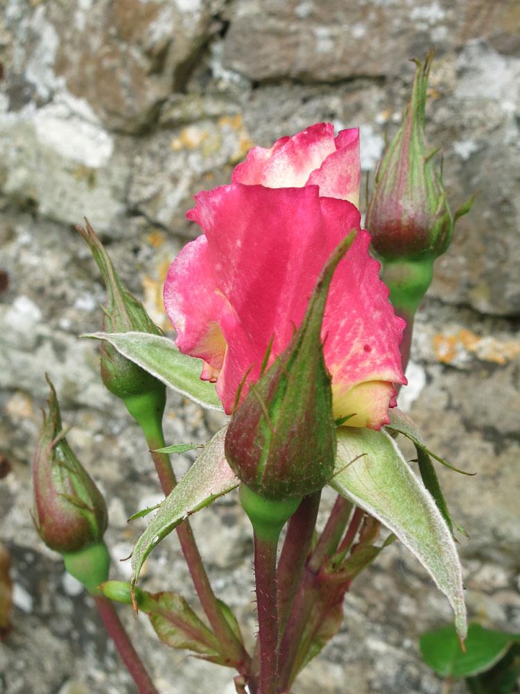 june-rose-3