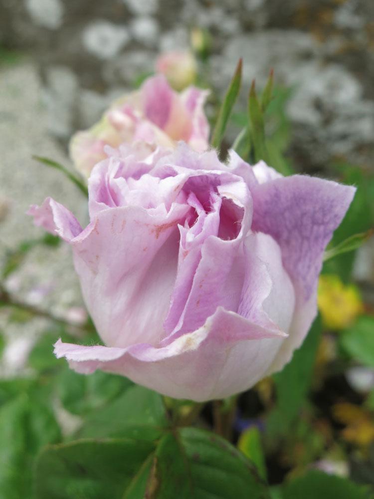 june-rose-4