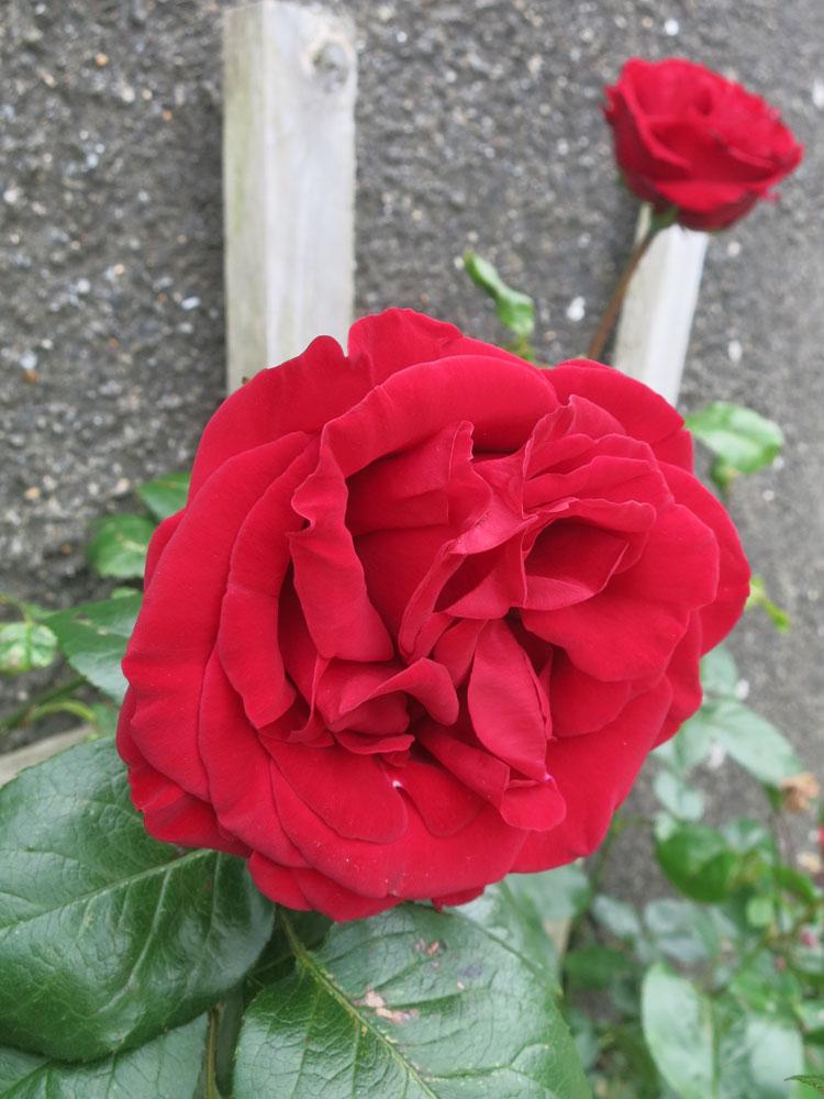 june-rose-5