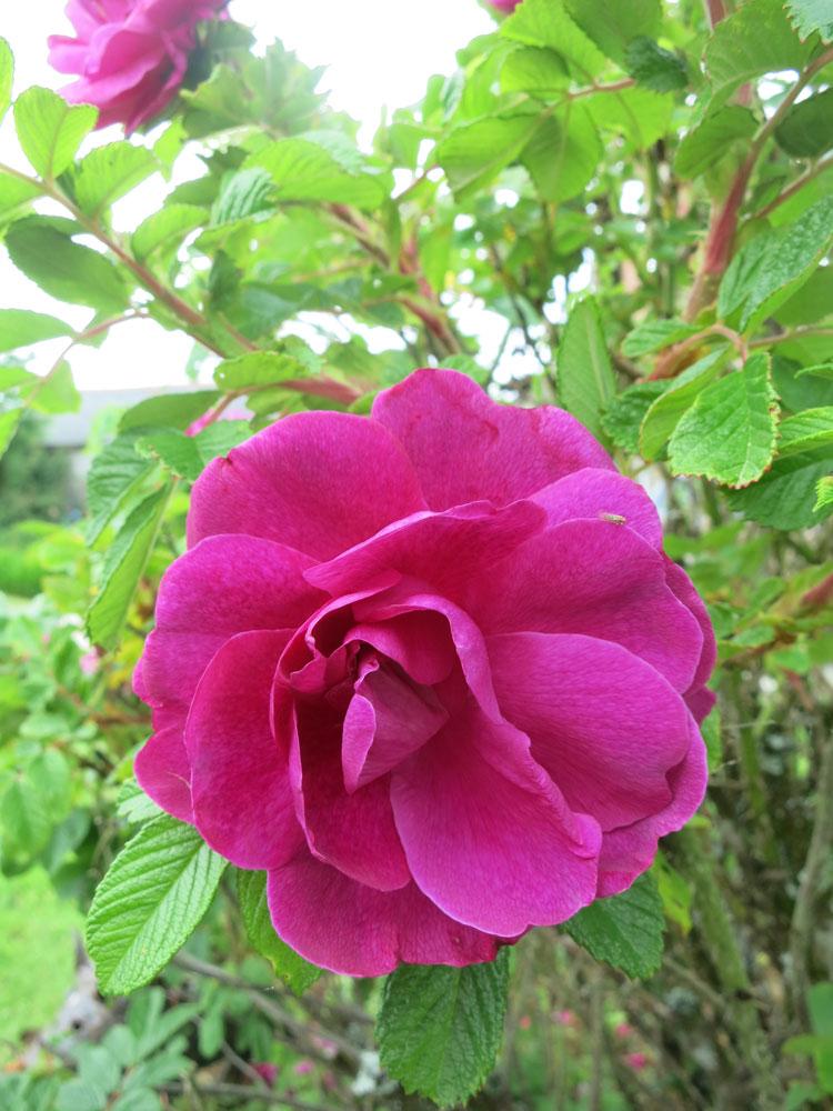 june-rose-7