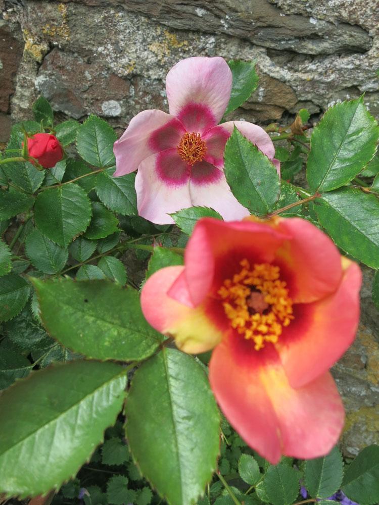 june-rose-8