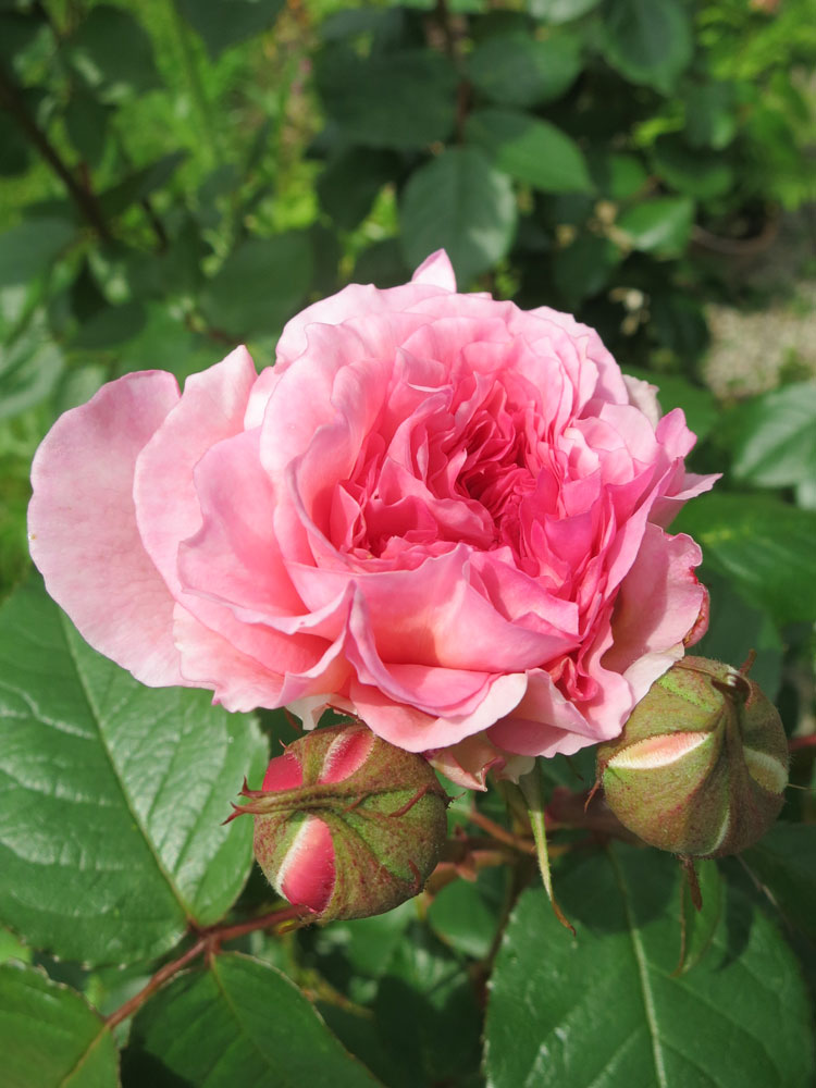 june-rose-9