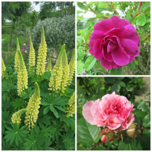 Lupins and Roses at Huxtable Farm B&B, Devon, Barnstaple