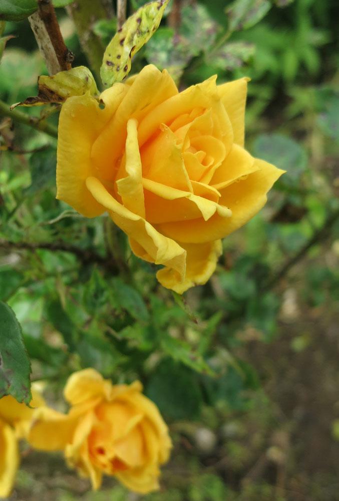 rose-21