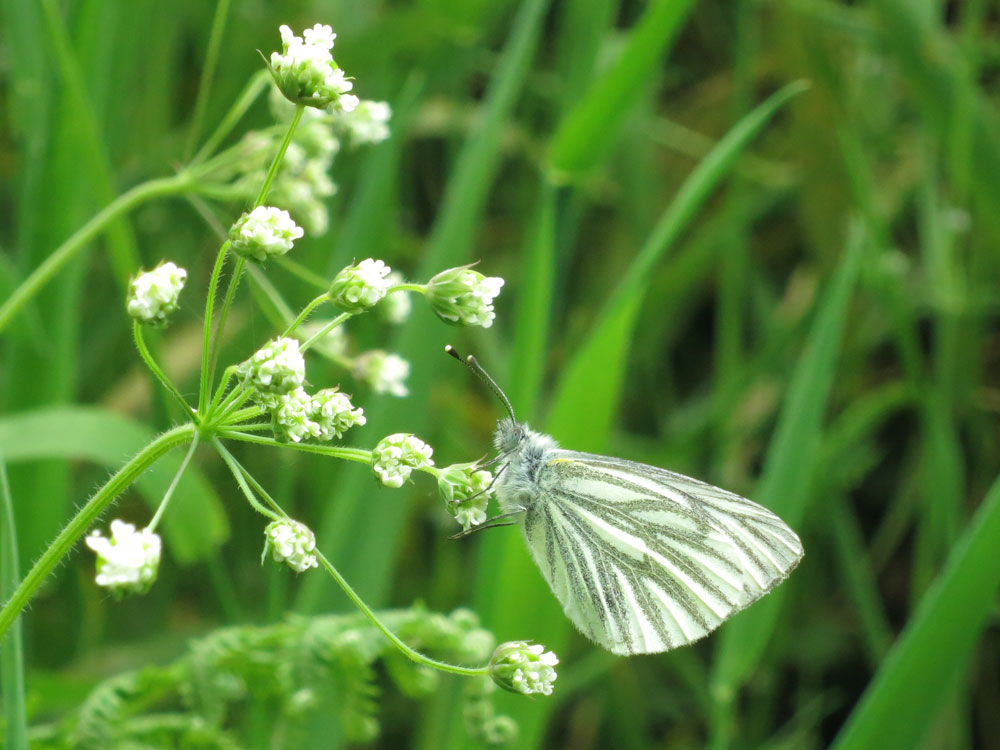 Butterfly Green Veined White