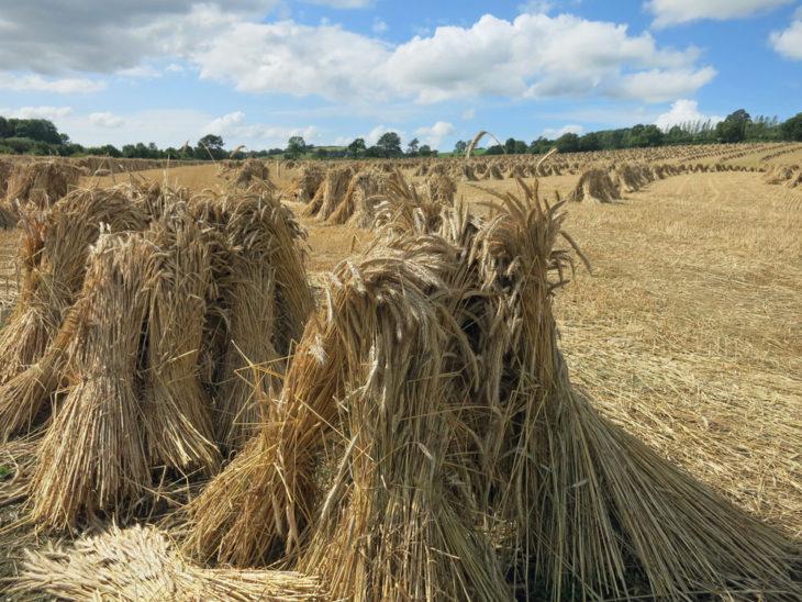 North Devon fields of thatching straw