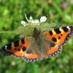 Butterfly-tortoiseshell