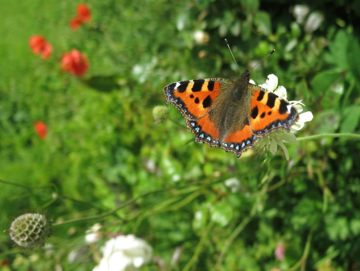 Butterfly tortoiseshell in garden
