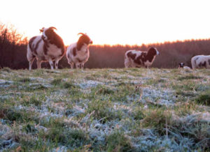 Frosty grass and ewes
